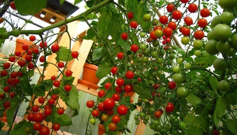 cà chua nặng trĩu quả