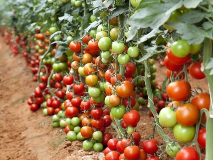 cà chua sai quả