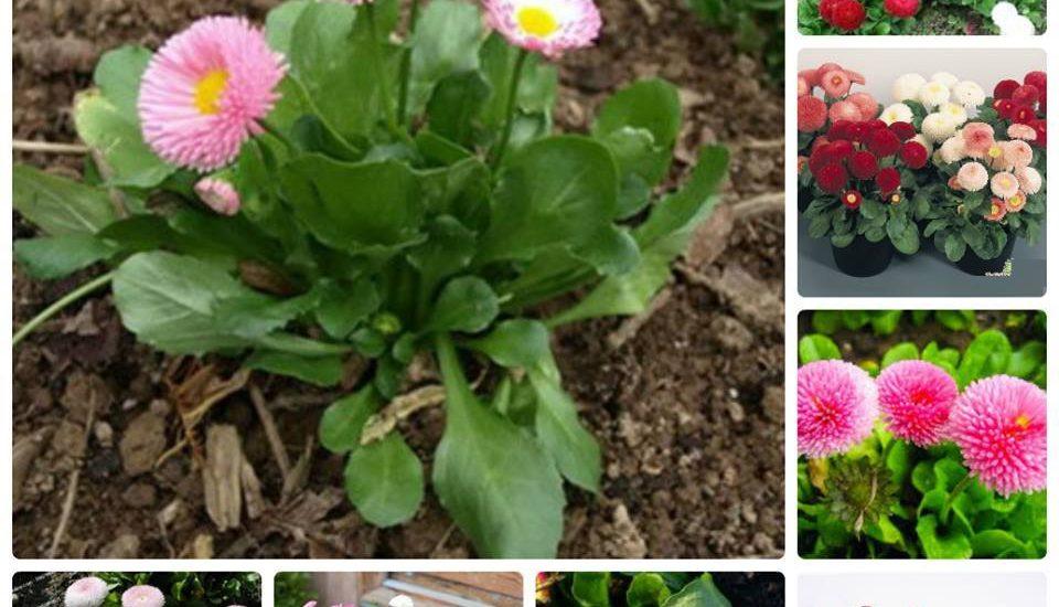 Cách trồng và chăm sóc hoa cúc anh mix