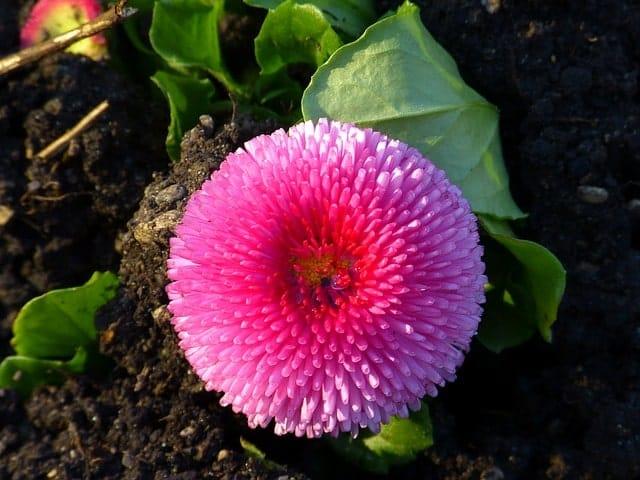Gieo trồng và chăm sóc cúc anh mix nở đẹp