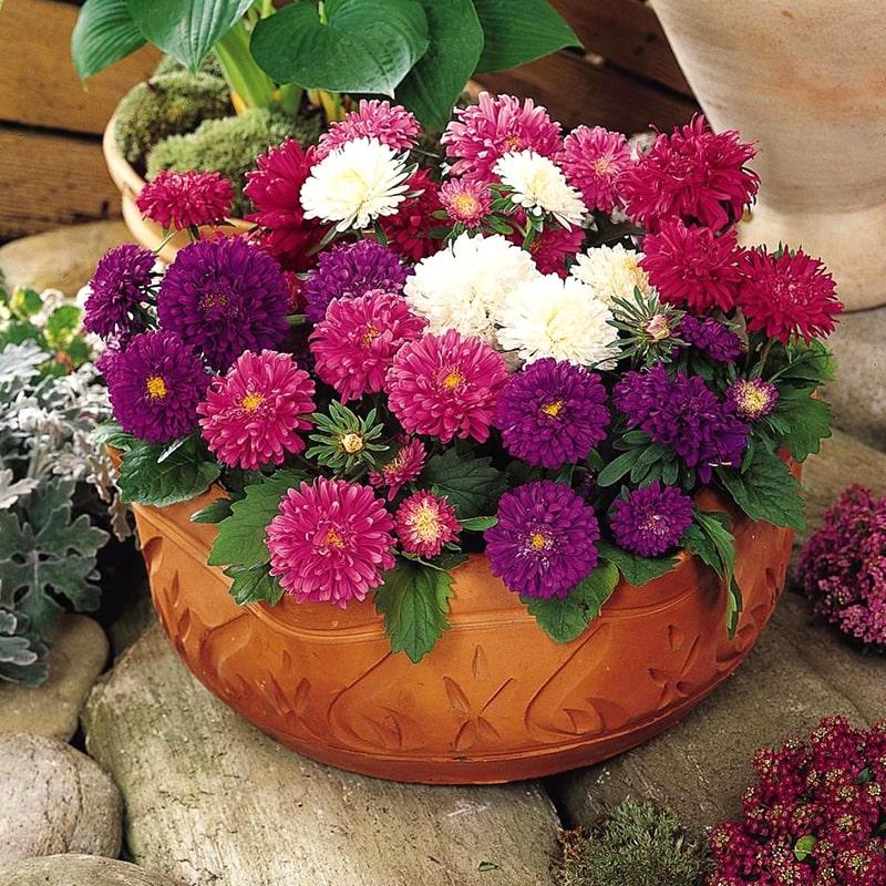 cây hoa cúc đài loan trồng chậu đẹp