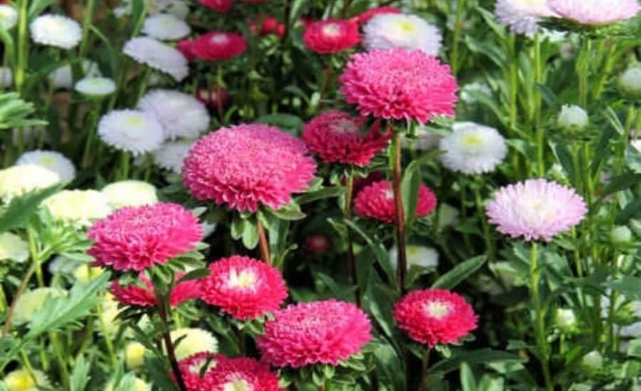 cây hoa cúc đài loan trong khu vườn