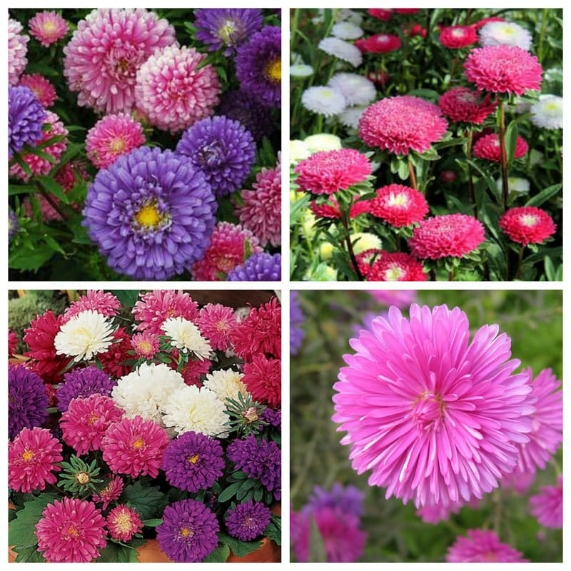 cây hoa cúc đài loan khoe sắc đẹp
