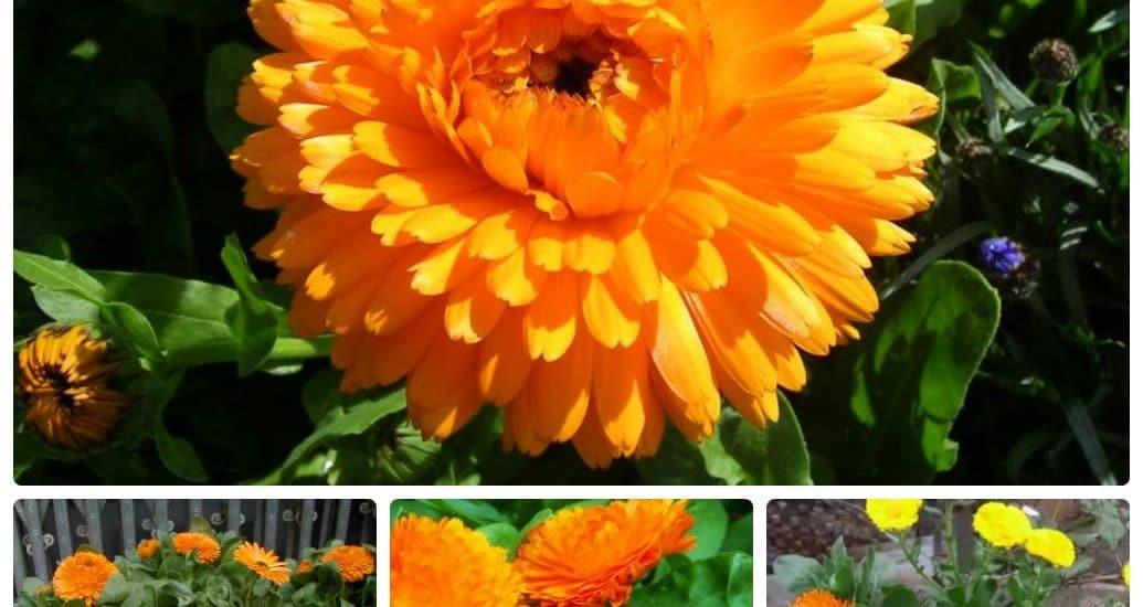 Cách trồng và chăm sóc hoa cúc susi