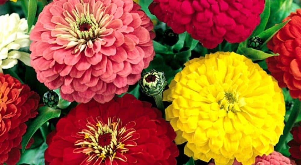 hoa cúc susi đẹp nhiều màu sắc