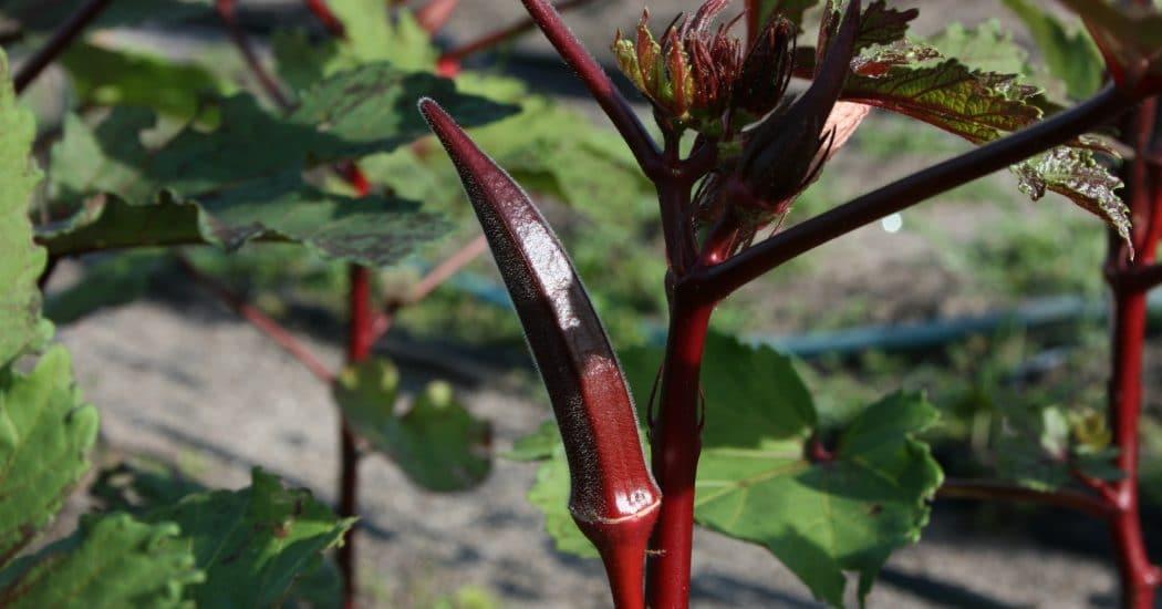 Hạt giống đậu bắp đỏ
