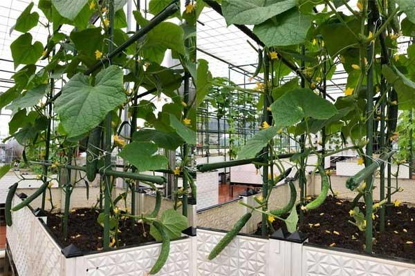 Hướng dẫn cách gieo trồng và chăm sóc cây dưa chuột