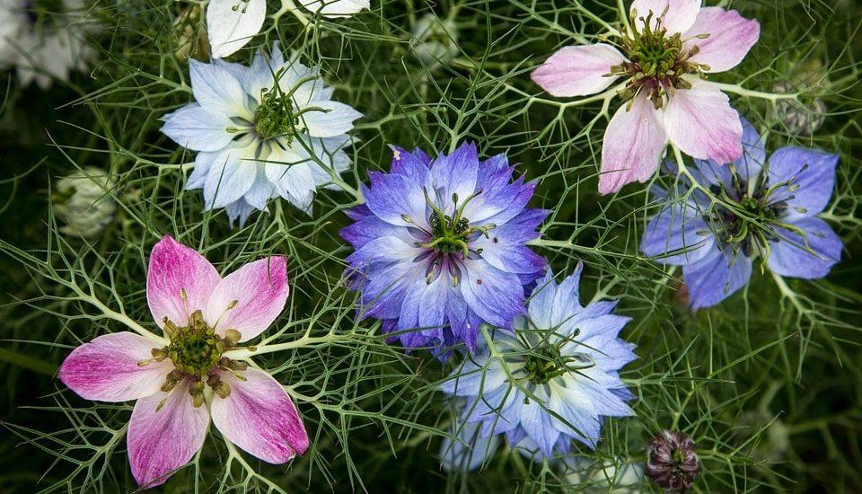 Cách trồng và chăm sóc hoa bảo thạch ba tư