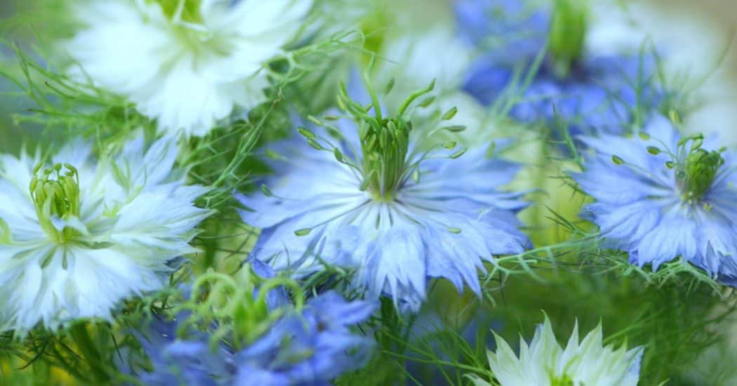 chăm sóc những cây hoa bảo thạch ba tư đẹp