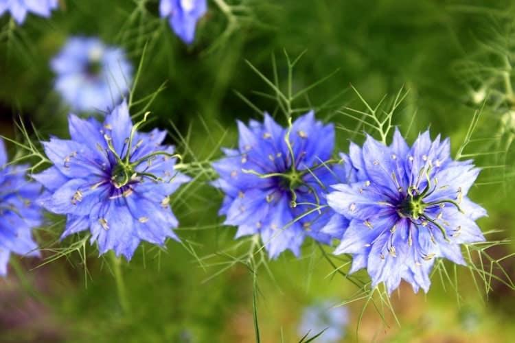cây hoa bảo thạch ba tư đẹp
