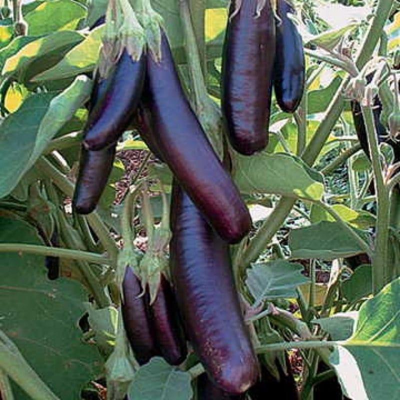 Quá trình chăm sóc cây cà tím phát triển
