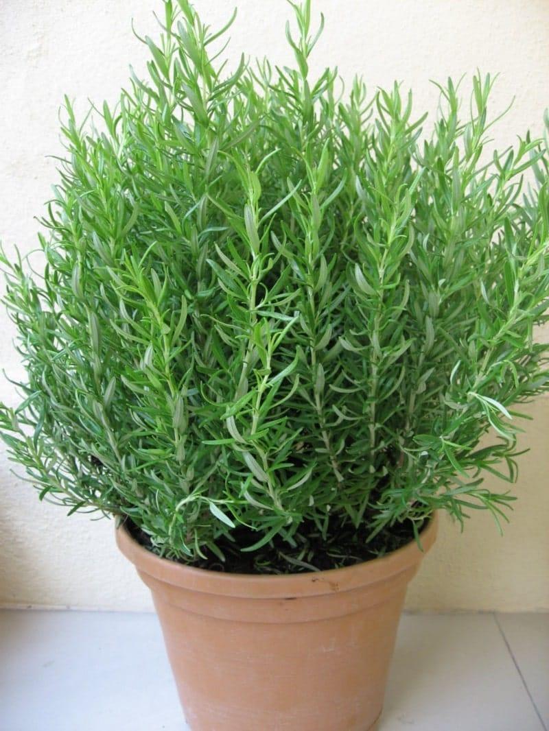 cây hương thảo phát triển khỏe mạnh
