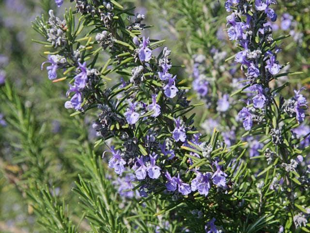 cây hương thảo ra nhiều hoa