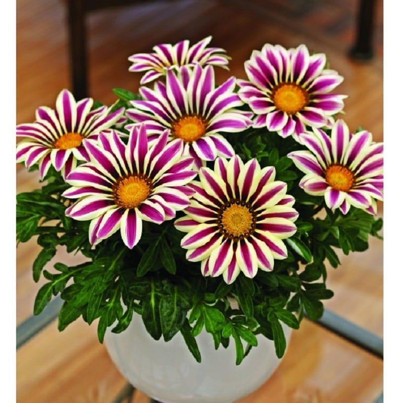 Cách trồng và chăm sóc hoa cúc huân chương