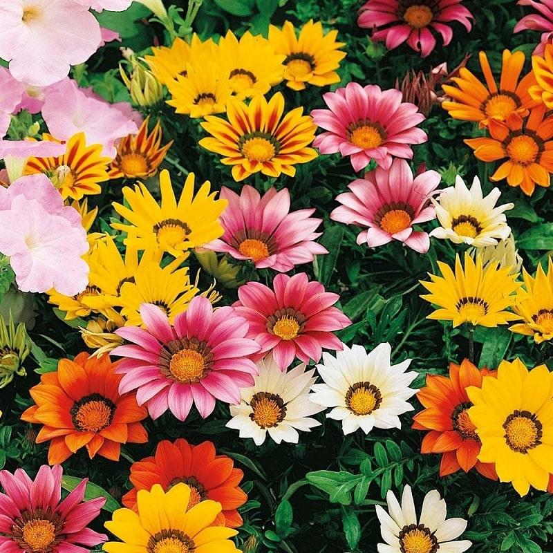 bông hoa cúc huân trương nhiều màu sắc