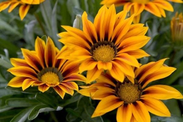 những bông hoa cúc huân trương đẹp nhất