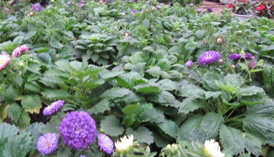 những cây hoa magic  mập mạp phát triển