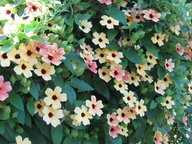 Kỹ thuật trồng cây hoa Ánh Dương