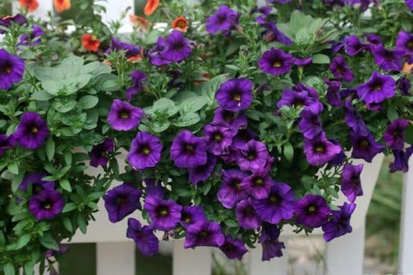 hoa dạ yến thảo màu tím