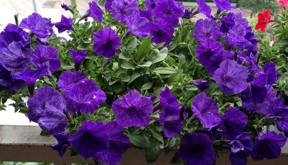 những chậu hoa dạ yến thảo trồng chậu ban công