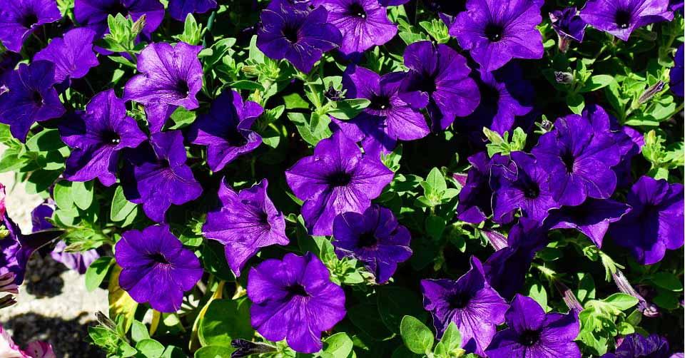 hoa dạ yến thảo khoe sắc