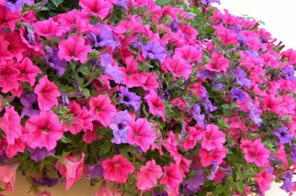 Cách trồng hoa dạ yến thảo đơn giản tại nhà