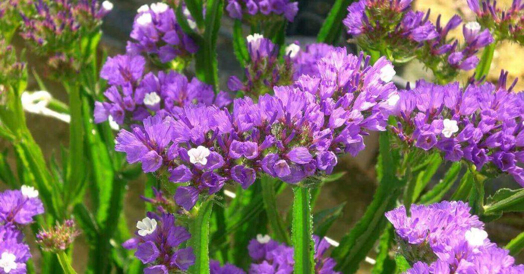 Cách trồng và chăm sóc hoa Salem