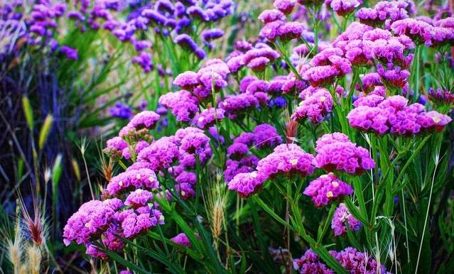 những bông hoa salem màu xanh đẹp tuyệt vời