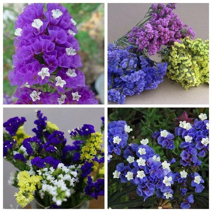 lựa chọn những bông hoa salem màu sắc sinh động