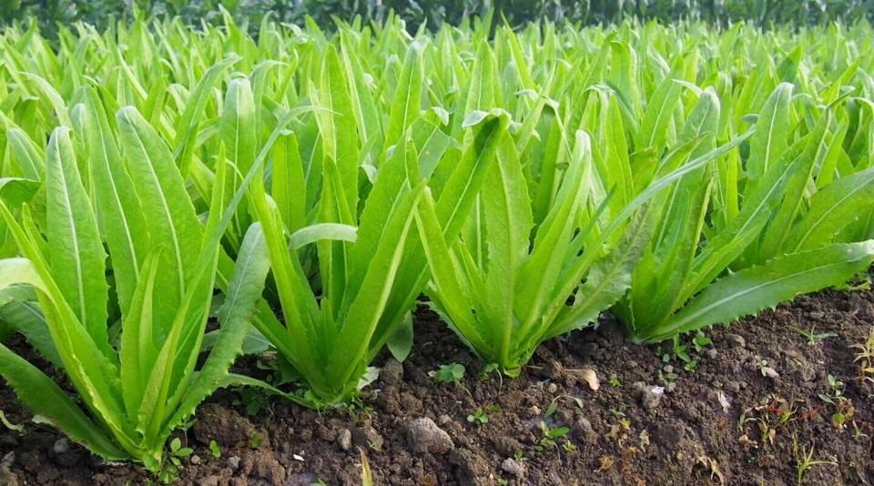 rau diếp tây cho thu hoạch rộng rãi