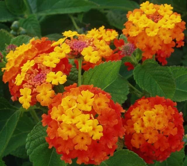 hoa cúc ngũ sắc đẹp nở rộ