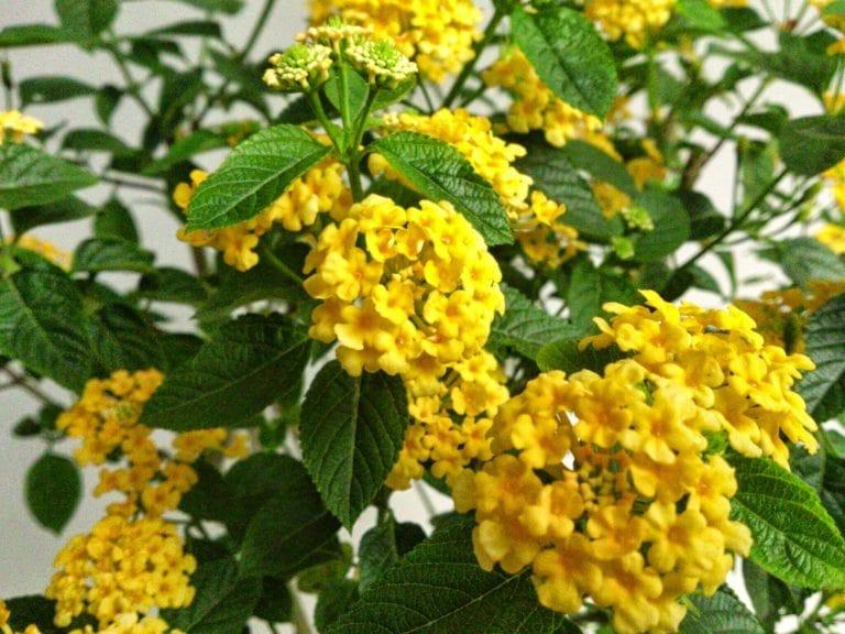 Kỹ thuật chăm sóc hoa ngũ sắc