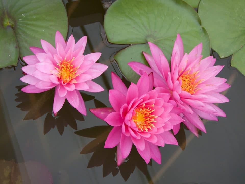 hoa sung nở đẹp