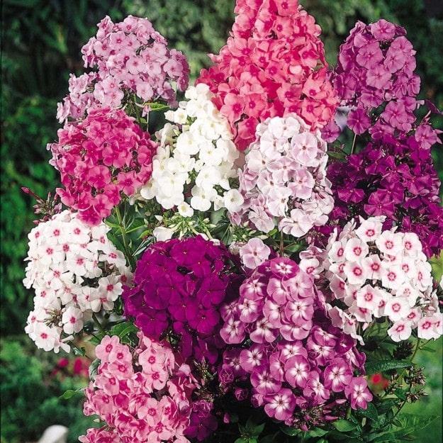 Cách trồng và chăm sóc hoa Thanh trúc mix