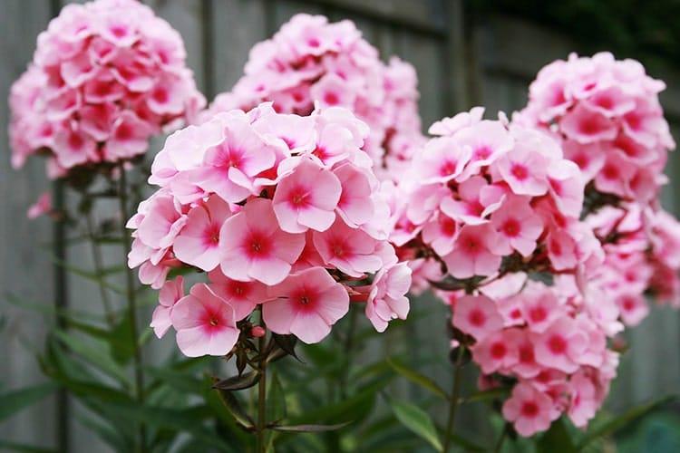 những bông hoa thanh trúc khoe sắc