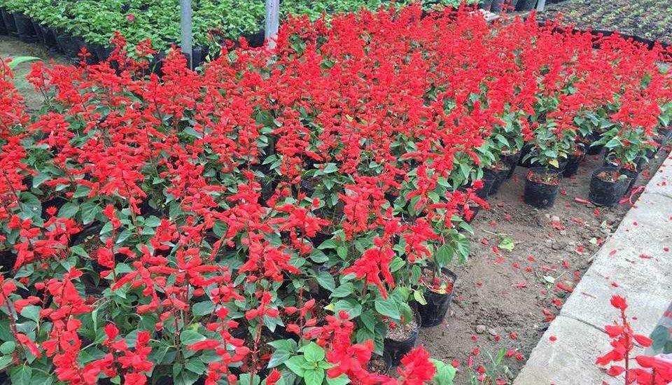 khu vườn hoa xác pháo đỏ