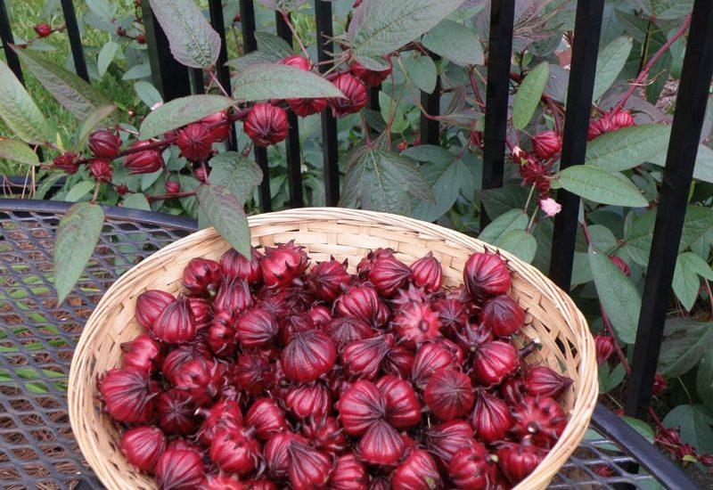 Atiso đỏ thơm ngon đã chín