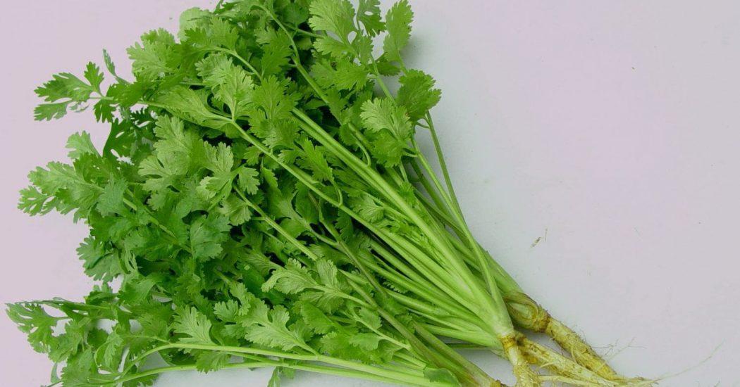 Hạt giống rau mùi chịu nhiệt tốt nhất
