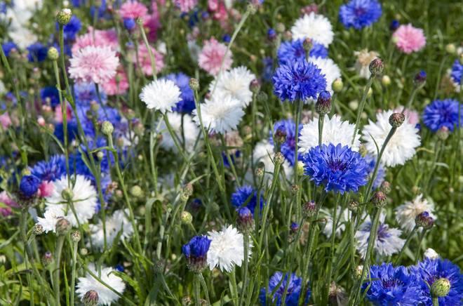 những bông hoa thanh  vasilet khoe sắc đẹp