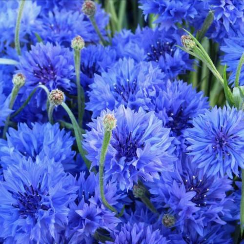 vẻ đẹp của loài hoa Thanh cúc vasilet