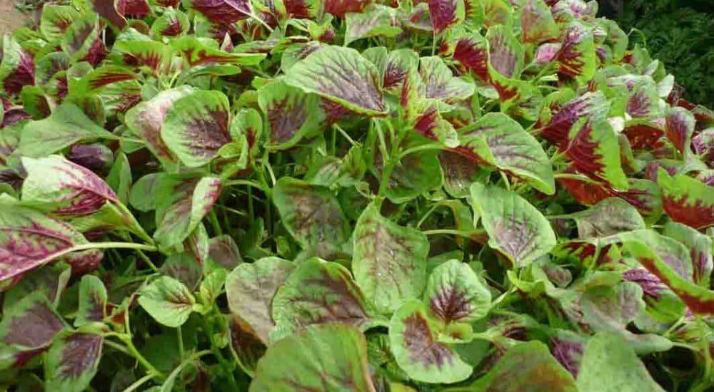18 loại rau củ quả trồng thích hợp cho tháng 6, 7, 8 dễ trồng nhất
