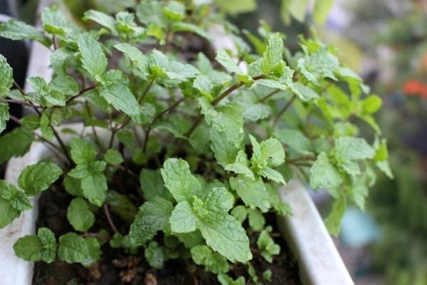 cây bạc hà phát triển khỏe mạnh