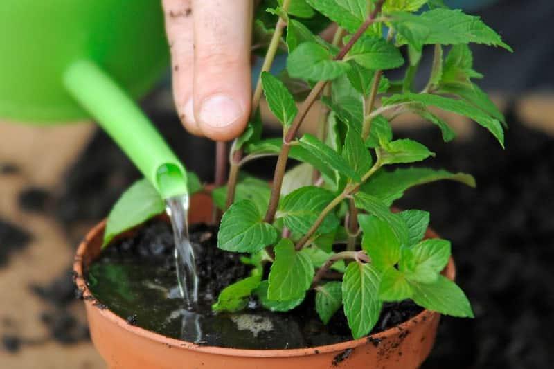 tưới nước cho cây bạc hà phát triển