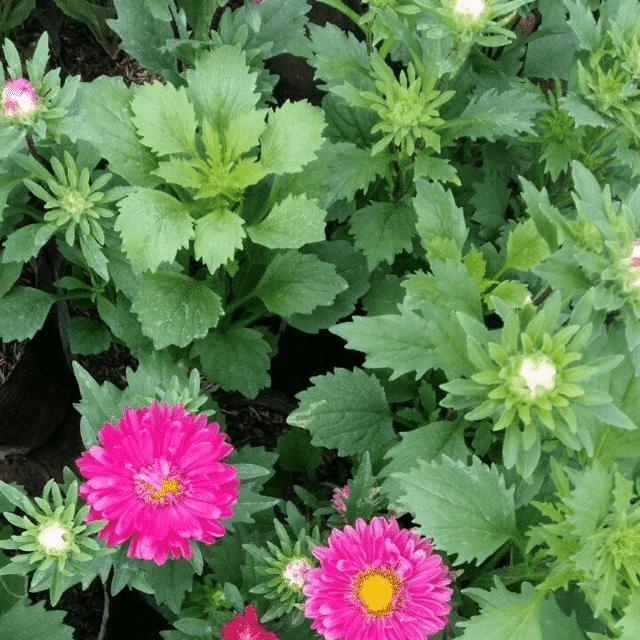 cây hoa cúc  magic phát triển khỏe mạnh khoe sắc