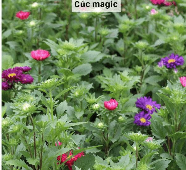 magic nở hoa khoe sắc mọi nơi