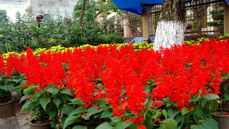 cây hoa sắc pháo đỏ nở tuyệt đẹp