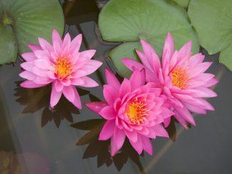 hoa sung mini 1 min