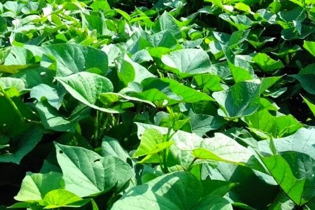 Cách trồng rau lang
