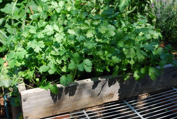 rau mùi trồng trong sân thượng