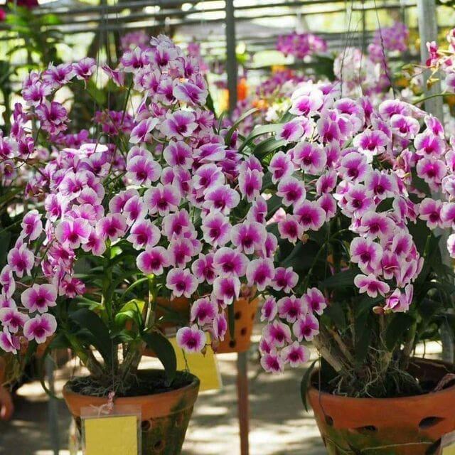 Hoa lan dendro yaya nở hoa cực kỳ nhiều